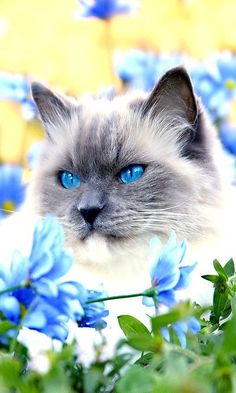 So Beautiful-- Beautiful Blue-Eyed Cat, accented with the beautiful blue flowers!