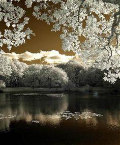 lake and white trees