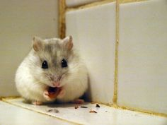 Gustaafson le hamster russe