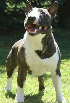 #Bull #Terrier dog's smile