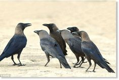 Crows mourn their dead to try and learn about potential dangers to their own lives, researchers have found. They found the birds can even remember an animal or person seen with a dead crow. The birds were also able to easily distinguish between...