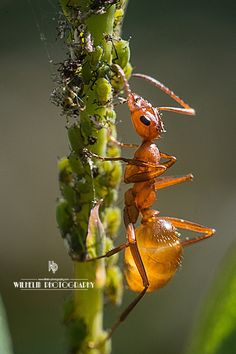 "https://www.facebook.com/www.wilhelmphotography Creature Feature Friday ""Ant and Aphids"""