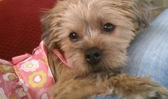 My shorkie, Lily Lou!!