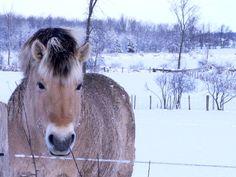 Norwegian fjord horse 2