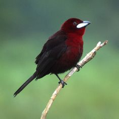 Silver-beaked Tanager beauti bird, chocolates, colors, silverbeak tanag, gorgeous bird, novels, bird of paradise, birds, black