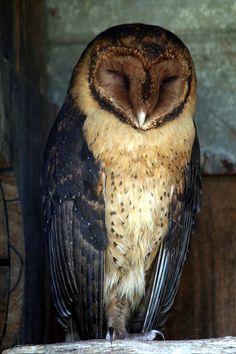 Tasmania, Australian Masked Owl by Wakx