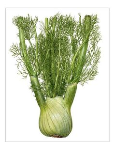 Beautiful fennel by Asuka Hishiki