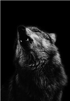 Beautiful black and white photo of a wolf howling <3 found this on my friends profile, and I had to take it :3