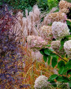 'Black Lace' Elderberry, Miscanthus and Hydrangea paniculata are an #autumn mix…