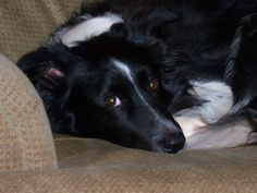 Border Collie ~ Colby