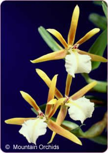 Dinema polybulbon micro miniature orchid from mountainorchids.com, possible indoor terrarium subject, needs warm temps and 55-75% humidity