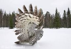 Картинки по запросу совы в полёте фотографии