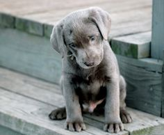 Silver lab puppy -- For Puppy Fridays from Underdog Rescue of Arizona