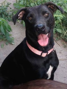 Java is an adoptable Labrador Retriever searching for a forever family near White Plains, NY. Use Petfinder to find adoptable pets in your area.