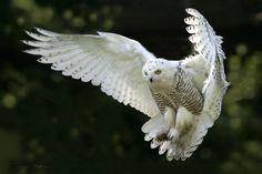 Snow-Owl-Wings-Flying.jpg (1152×768)