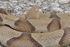 copperhead snake pictures | Copperhead Snakes