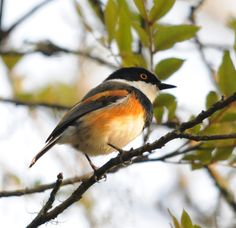 Spotted at Afton Grove - Cape Batis
