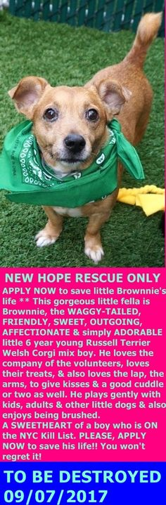 SAFE 9-7-2017 by Second Chance Rescue --- Manhattan Center  My name is BROWNNIE. My Animal ID # is A1124079. I am a male tan and white jack russ terr and welsh corgi car mix. The shelter thinks I am about 6 YEARS old.  I came in the shelter as a OWNER SUR on 09/02/2017 from NY 10474, owner surrender reason stated was NO TIME.  http://nycdogs.urgentpodr.org/brownnie-a1124079/#