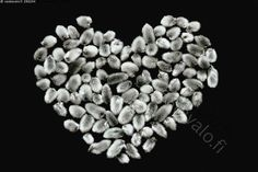 Sydämellistä pääsiäistä! - pajunkissasydän sydän sydämenmuotoinen sommitelma sydämen muotoinen muoto muotoilu sommittelu kuvio rakkaus ystävyys ystävänpäivä pääsiäiskoristelu somistus somistaa sommitella muotoilla pajunkissat pajunkissa pajun kukinnot sydämellinen mielikuvitus idea ideoida pääsiäinen pääsiäisaskartelu pajunkissoista musta paperi valkoinen
