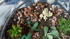CACTUS, SUCCULENTS  UPDATE....decorating the cactus aquarium