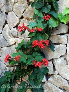 Conducta trepadora de los Clerodendros sobre rocas, Clerodemdrum sp