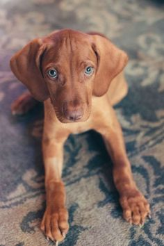 we will try again Visla Puppy, Vizsla Puppies, Vizsla Dog, Cute Dogs And Puppies, Doggies, Hunting Dogs, Dog Quotes, Dog Sayings, Beautiful Dogs