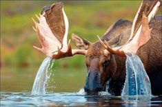 Amazing Photo Of Moose. Photo Unknown Author Unknown (If you know please contact us). 1,345 Likes