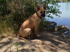 Rescued Norah from an animal shelter. Who would have guessed that she is a 7 month old Belgian Malinois?