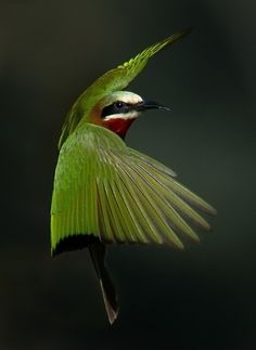 White Fronted Bee Eater (Merops bullockoides)