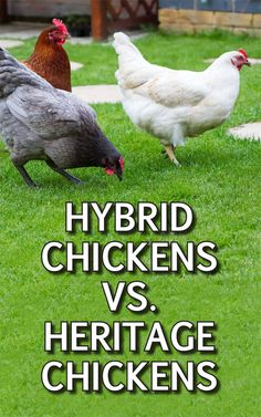 Add to Favorites Heritage chicken breeds are vital to the future of all breeds of chickens. What are heritage chicken breeds? Raising Backyard Chickens, Backyard Poultry, Baby Chickens, Keeping Chickens, Meat Chickens, Heritage Chicken Breeds, Heritage Chickens, Different Breeds Of Chickens, Hatching Chickens