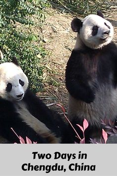 Chengdu, China: Pandas, Pandas, Pandas