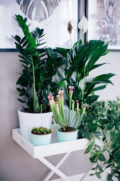 Pflanzen Im September fleischfressende pflanzen sind zimmerpflanzen des monats september