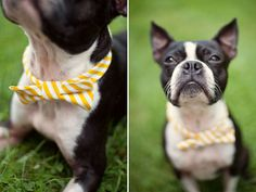 Boston Terrier with a very cool bow tie