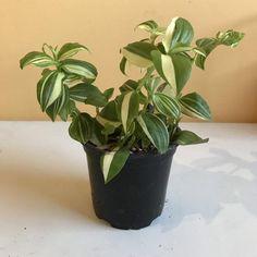Wondering Jew Plant, Potted Plants, Indoor Plants, Button Fern, Wandering Jew, Fern Plant, Plants Online, Plant Nursery, Houseplant