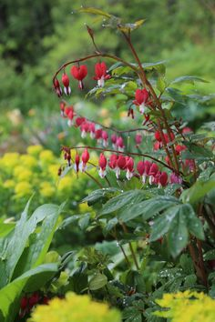 Companion Planting dicentra-best-companion-plants-for-hostas - Longfield Gardens-bleeding hearts - Hostas can hold their own in a shade garden, but pairing them with bulbs and other perennials will accentuate their natural beauty and extend the season. Shade Garden Plants, Garden Bulbs, Hosta Plants, Shade Perennials, Flowers Perennials, Spring Flowering Bulbs, Spring Bulbs, Companion Gardening, Shade Landscaping