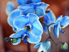 Blue Orchid -fav flower!