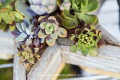 Succulent sunburn can be a major problem! Often it's from being exposed to too much heat or getting direct sunlight for too long.