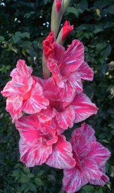 Gladiolus 'Rigel Exotic'