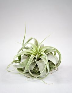"""Sometimes called """"King of the Air Plants,"""" the Xerographica stands alone, with a star shaped form, bright minty green color, and curling leaves. Perfect as an accent piece on a shelf, in a glass vesse"""