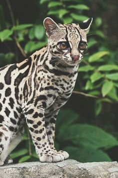 Into the Wild Small Wild Cats, Big Cats, Cats And Kittens, Cute Cats, Margay Cat, Serval Cats, Clouded Leopard, Leopard Cat, Animals And Pets