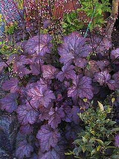 Heuchera - I have this type in my garden.  Heuchera now is available is so many different colors.  Careful - deer like to nipple it!