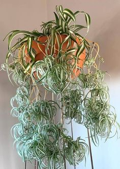 Curly spider plant steals the show again. These babies will be with the mommy furrrever 🌟👩👧👦🌟 . House Plants Decor, Plant Decor, Airplane Plant, Chlorophytum, Gardening Magazines, Inside Plants, Spider Plants, Types Of Flowers, Outdoor Plants