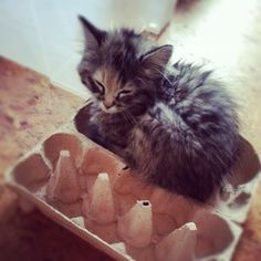 This kitten is reminding you that you're out of eggs. | The Secret Thoughts Of 27 Maine CoonCats