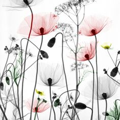 X-ray flowers - Poppies, buttercups, cow parsley Xray Flower, Flower Art, Botanical Art, Botanical Illustration, Watercolor Flowers, Watercolor Paintings, Art Pastel, Art Floral, Flower Tattoos