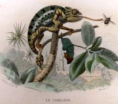 Lacepedes LHistoire Naturelle - H/C Litho - c1844- LE CAMELEON & LE SCINQUE | eBay