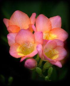 @PinFantasy - Freesia ~~ For more:  - ✯ http://www.pinterest.com/PinFantasy/flora-~-flores-flowers/