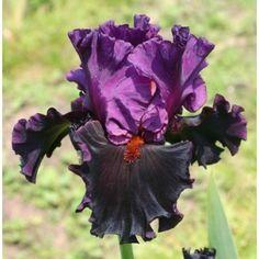 Iris : SATURN
