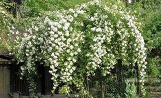 Die Ramblerrose 'Bobby James' wird gerne an Hausfassaden oder an Obstbäume gepflanzt, kommt auch mit wenig Sonne aus und verschönert schattige Sitzplätze. Hier hat sie einen Holunder erobert