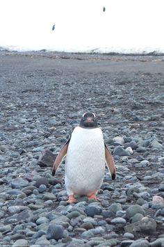 Regarde moi droit dans les yeux.... Manchot en admiration devant moi ou plutôt moi en admiration devant un manchot en Antarctique... http://voyagesetvagabondages.com/category/antarctique/