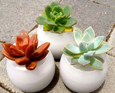 24 Succulent Party Favors for your Wedding or Shower! In a classic frosted or clear globe pot!  Frosted or Clear glass with the White Sand and a